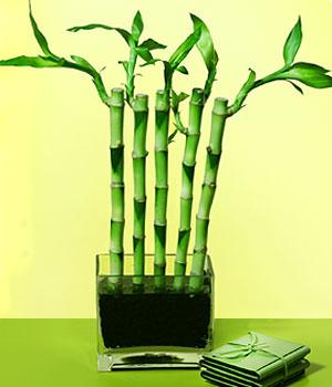 Kırklareli ucuz çiçek gönder  Good Harmony Lucky Bamboo camda