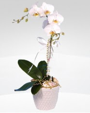 1 dallı orkide saksı çiçeği  Kırklareli online çiçek gönderme sipariş