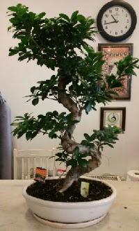 100 cm yüksekliğinde dev bonsai japon ağacı  Kırklareli cicekciler , cicek siparisi
