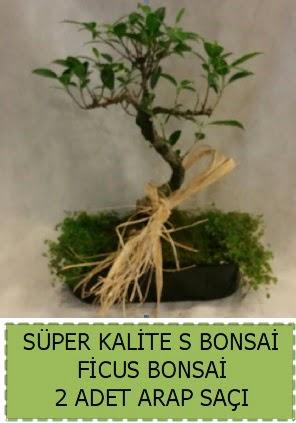 Ficus S Bonsai ve arap saçı  Kırklareli hediye sevgilime hediye çiçek