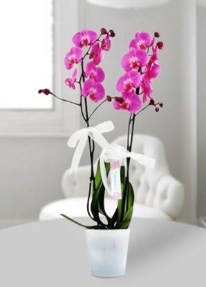 Çift dallı mor orkide  Kırklareli çiçek yolla , çiçek gönder , çiçekçi