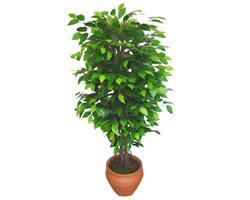 Ficus Benjamin 1,50 cm   Kırklareli ucuz çiçek gönder