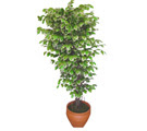 Ficus özel Starlight 1,75 cm   Kırklareli çiçek gönderme