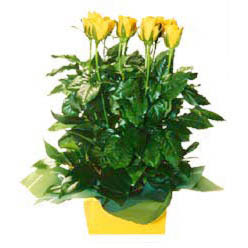 11 adet sari gül aranjmani  Kırklareli online çiçek gönderme sipariş