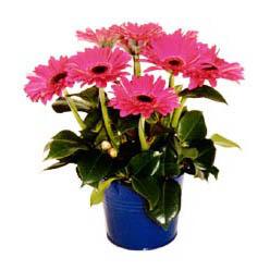vazo içerisinde gerbera çiçekleri   Kırklareli çiçek yolla