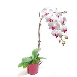Kırklareli anneler günü çiçek yolla  Saksida orkide