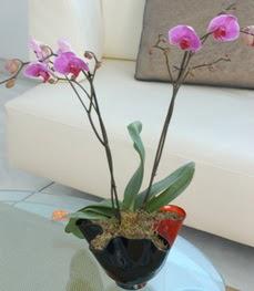 Kırklareli güvenli kaliteli hızlı çiçek  tek dal ikili orkide saksi çiçegi