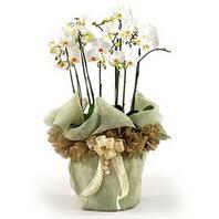 Kırklareli yurtiçi ve yurtdışı çiçek siparişi  3 dal orkide , saksi çiçegi , 3 kök orkide
