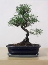 ithal bonsai saksi çiçegi  Kırklareli çiçek gönderme sitemiz güvenlidir
