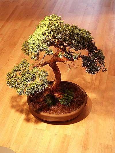 ithal bonsai saksi çiçegi  Kırklareli internetten çiçek satışı