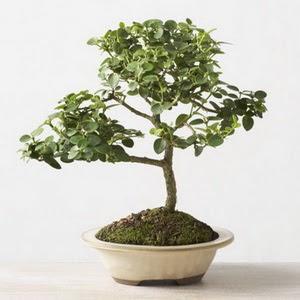 ithal bonsai saksi çiçegi  Kırklareli çiçekçi mağazası