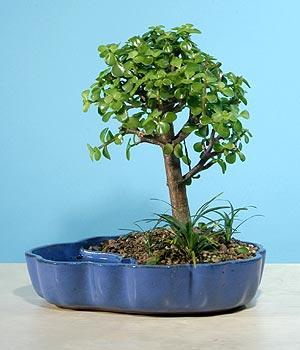 ithal bonsai saksi çiçegi  Kırklareli çiçek yolla , çiçek gönder , çiçekçi