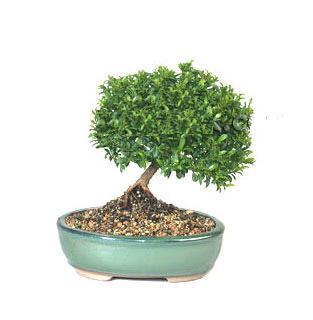 ithal bonsai saksi çiçegi  Kırklareli çiçekçi telefonları