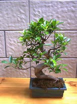 ithal bonsai saksi çiçegi  Kırklareli hediye çiçek yolla
