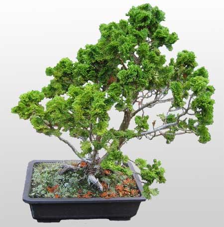 ithal bonsai saksi çiçegi  Kırklareli cicekciler , cicek siparisi