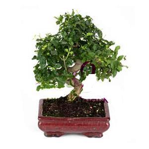ithal bonsai saksi çiçegi  Kırklareli ucuz çiçek gönder