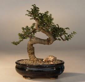 ithal bonsai saksi çiçegi  Kırklareli çiçek , çiçekçi , çiçekçilik