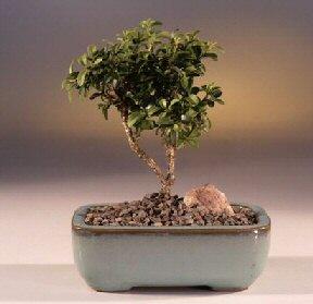 Kırklareli 14 şubat sevgililer günü çiçek  ithal bonsai saksi çiçegi  Kırklareli online çiçekçi , çiçek siparişi