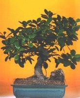 Kırklareli hediye sevgilime hediye çiçek  ithal bonsai saksi çiçegi  Kırklareli İnternetten çiçek siparişi