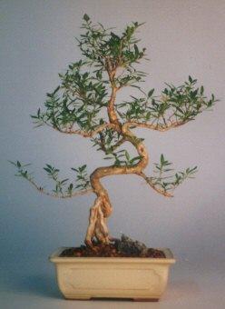 Kırklareli çiçek online çiçek siparişi  ithal bonsai saksi çiçegi  Kırklareli çiçek gönderme sitemiz güvenlidir