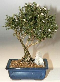 Kırklareli çiçek servisi , çiçekçi adresleri  ithal bonsai saksi çiçegi  Kırklareli çiçek yolla