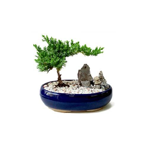 ithal bonsai saksi çiçegi  Kırklareli anneler günü çiçek yolla