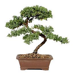 ithal bonsai saksi çiçegi  Kırklareli uluslararası çiçek gönderme