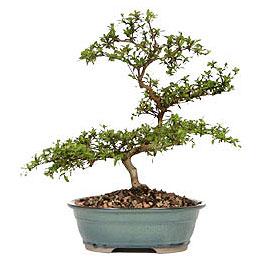 Kırklareli cicekciler , cicek siparisi  ithal bonsai saksi çiçegi  Kırklareli uluslararası çiçek gönderme