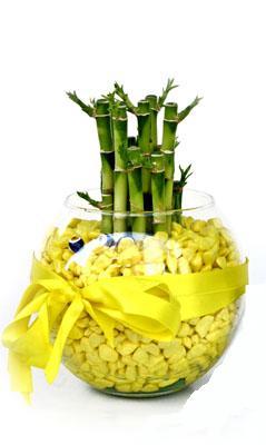 cam fanus içerisinde bambo  Kırklareli online çiçekçi , çiçek siparişi