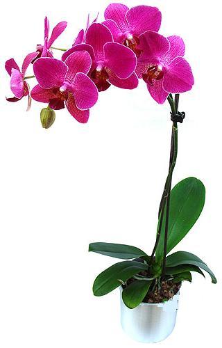 Kırklareli güvenli kaliteli hızlı çiçek  saksi orkide çiçegi