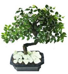 9 yasinda Bonsai agaci  Kırklareli çiçek siparişi vermek