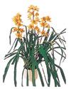 Kırklareli çiçek yolla , çiçek gönder , çiçekçi   Orchiede ithal büyük boy saksi