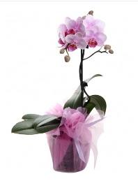 1 dal pembe orkide saksı çiçeği  Kırklareli çiçekçiler