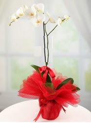 1 dal beyaz orkide saksı çiçeği  Kırklareli çiçek siparişi vermek