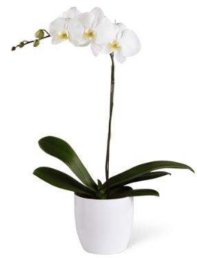 1 dallı beyaz orkide  Kırklareli çiçek , çiçekçi , çiçekçilik