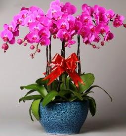 7 dallı mor orkide  Kırklareli çiçekçi mağazası