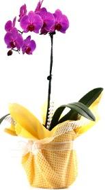 Kırklareli yurtiçi ve yurtdışı çiçek siparişi  Tek dal mor orkide saksı çiçeği