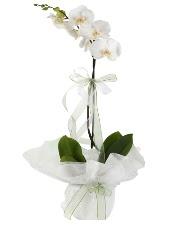 1 dal beyaz orkide çiçeği  Kırklareli çiçek gönderme sitemiz güvenlidir