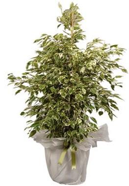 Orta boy alaca benjamin bitkisi  Kırklareli online çiçekçi , çiçek siparişi