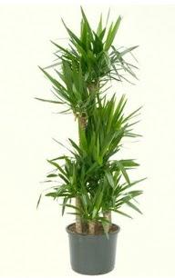 7 li yucca saksı bitkisi  Kırklareli çiçek siparişi sitesi