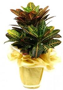 Orta boy kraton saksı çiçeği  Kırklareli çiçek , çiçekçi , çiçekçilik