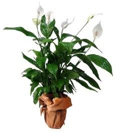 Orta boy barış çiçeği limon çiçeği  Kırklareli İnternetten çiçek siparişi
