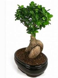 Bonsai saksı bitkisi japon ağacı  Kırklareli yurtiçi ve yurtdışı çiçek siparişi