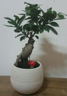 Bonsai japon ağacı saksı çiçeği  Kırklareli uluslararası çiçek gönderme