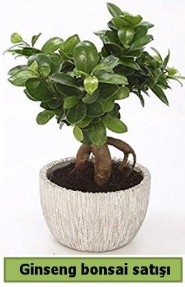 Ginseng bonsai japon ağacı satışı  Kırklareli hediye sevgilime hediye çiçek