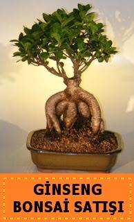 Ginseng bonsai satışı japon ağacı  Kırklareli çiçek gönderme