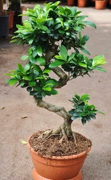 Orta boy bonsai saksı bitkisi  Kırklareli İnternetten çiçek siparişi