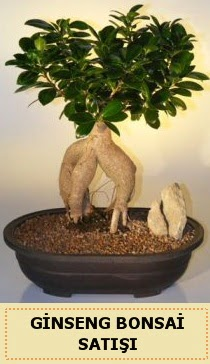 İthal Ginseng bonsai satışı japon ağacı  Kırklareli yurtiçi ve yurtdışı çiçek siparişi