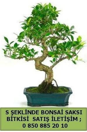 İthal S şeklinde dal eğriliği bonsai satışı  Kırklareli anneler günü çiçek yolla