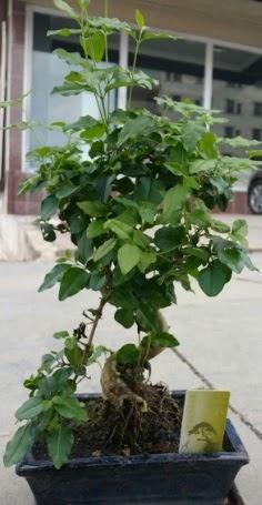 Bonsai japon ağacı saksı bitkisi  Kırklareli çiçek gönderme sitemiz güvenlidir